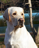 yellow labrador in autumn close portrait