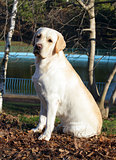 yellow labrador in autumn portrait