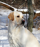 yellow labrador in winter portrait
