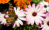 Painted Lady Butterfly on Garden Flower