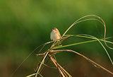 Zitting Cisticola (Cisticola juncidis)