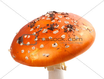 Amanita muscaria mushroom with pieces of dirt