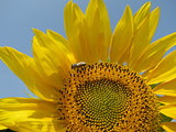 Colors of the summer - beautiful sunflower and the bee