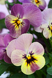 Viola 'Caramella'