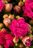 Pink amaryllises