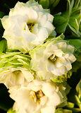 White amaryllises