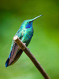 The Green Violetear (Colibri thalassinus) perched on a branch