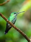 The Green-crowned Brilliant (Heliodoxa jacula) hummingbird
