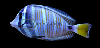 angelfish fish on a black background