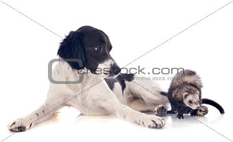 brittany spaniel and ferret