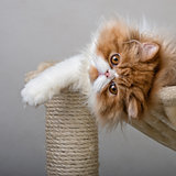 House Persian kitten Of Red and White Color