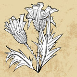 Thistle flower sketch, vector