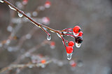 red berries in ice