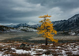 Lonely larch in autumn