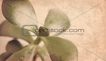 textured old paper background with Crassula ovata C. argentea