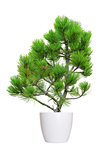 young pine tree in a flowerpot isolated over white