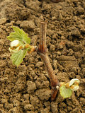 grape seedling