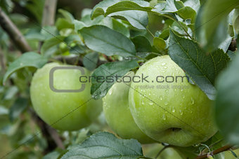 Three green apples with raindrops