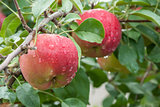 Two red apples with raindrops