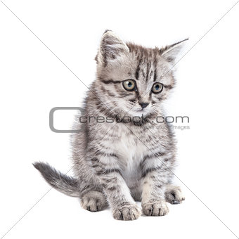 Lovable kitten isolated