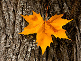 Close-up of a beautiful autumn leaf on a trunk of a tree