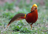 GOLDEN PHEASANT (Chrysolophus pictus) [Male]