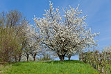 blooming trees in garden in spring