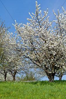 blooming trees in garden in spring