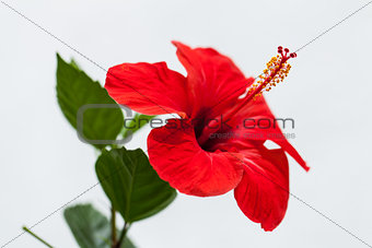 beautiful red hibiscus flower in summer outdoor