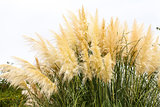 feathery grass background outdoor
