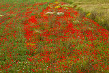 beautiful poppy field in red and green landscape