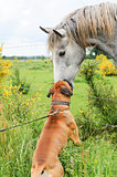 Boxer dog making friends with a horse