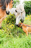 Boxer dog making friends with two horses