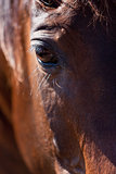 trotteur francais trotter horse gelding outdoor