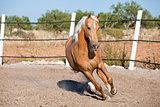 beautiful blond cruzado horse outside horse ranch field