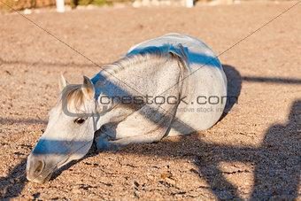 beautiful pura raza espanola pre andalusian horse