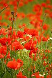 Field full of red poppies flowers photography