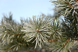 Pine branch covered with hoarfrost