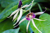 Encyclia Green Hornet Orchid