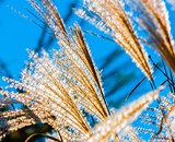flowering reeds closeup