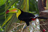 Keel billed toucan