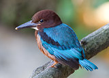 White-throated Kingfisher (Halcyon smyrnensis) [Juvenile]
