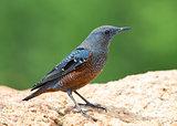 BLUE ROCK THRUSH (Monticola solitarius) [Male]