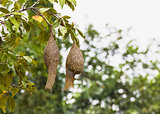 Baya weaver bird nest
