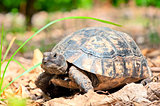 portrait of an adult turtle on land dry foliage