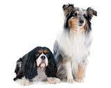 shetland dog and cavalier king charles