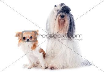 tibetan terrier and chihuahua