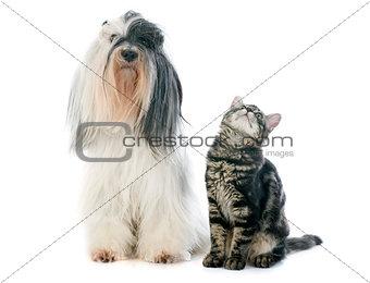 tibetan terrier and kitten
