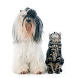 tibetan terrier and kitten