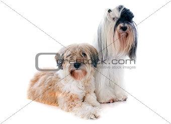 tibetan terriers